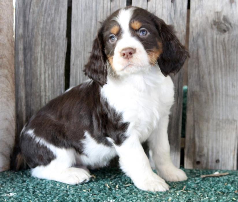 English Springer Spaniel York Pa Image Tips Springer Puppies English Springer Spaniel English Springer