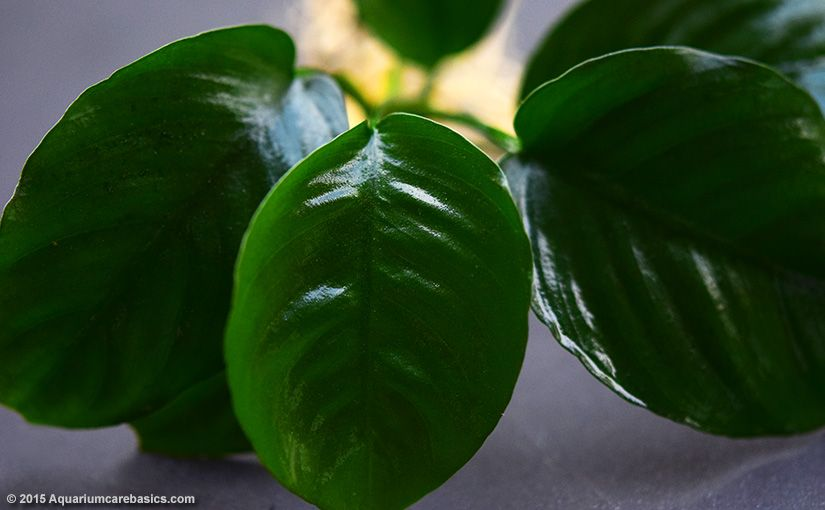 Anubias Barteri Plant Types Care Propagation Algae Plants Planted Aquarium Starter Plants