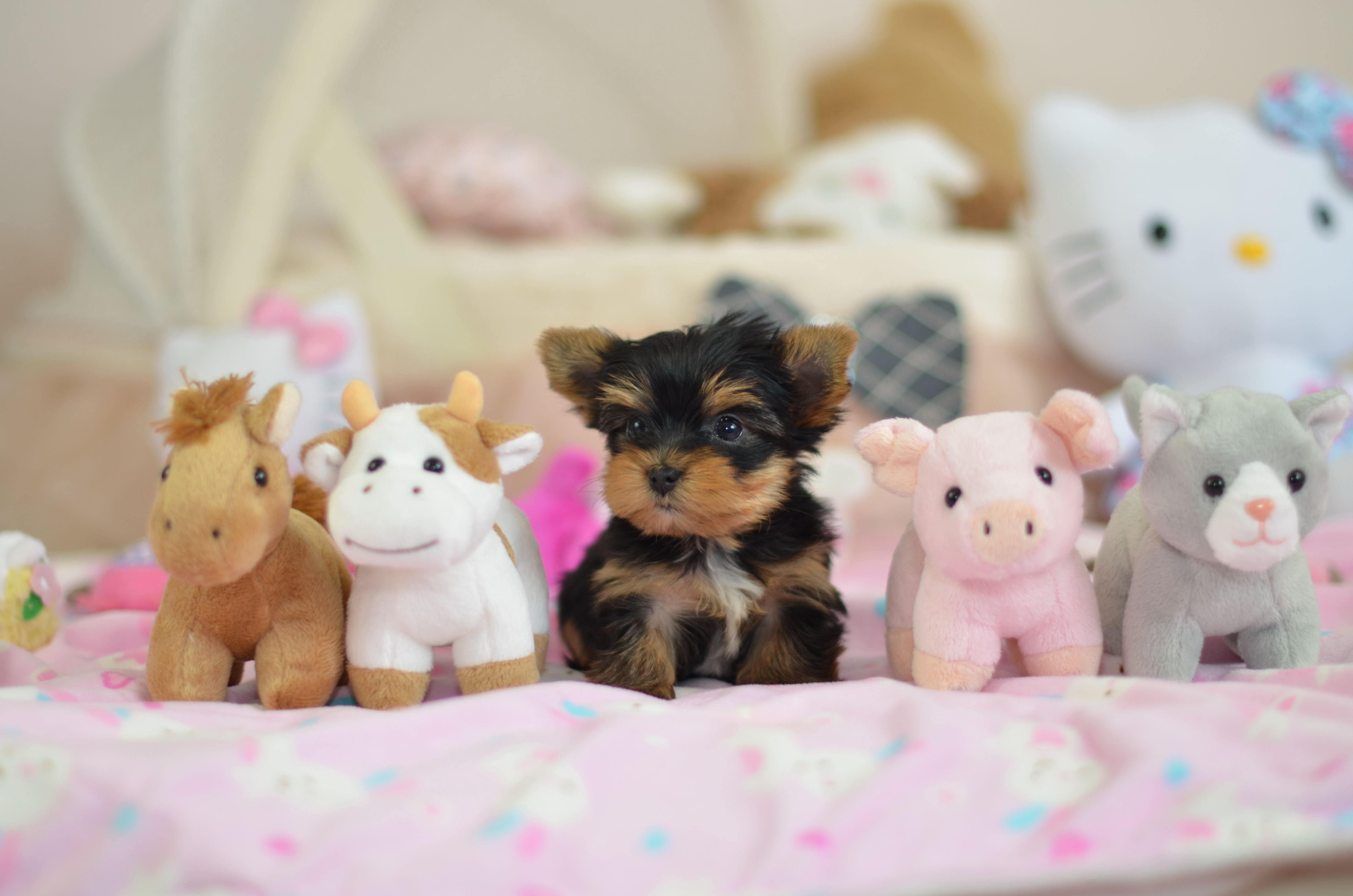 Visit Www Teacups Co Uk For Adorable Teacup Puppies For Sale
