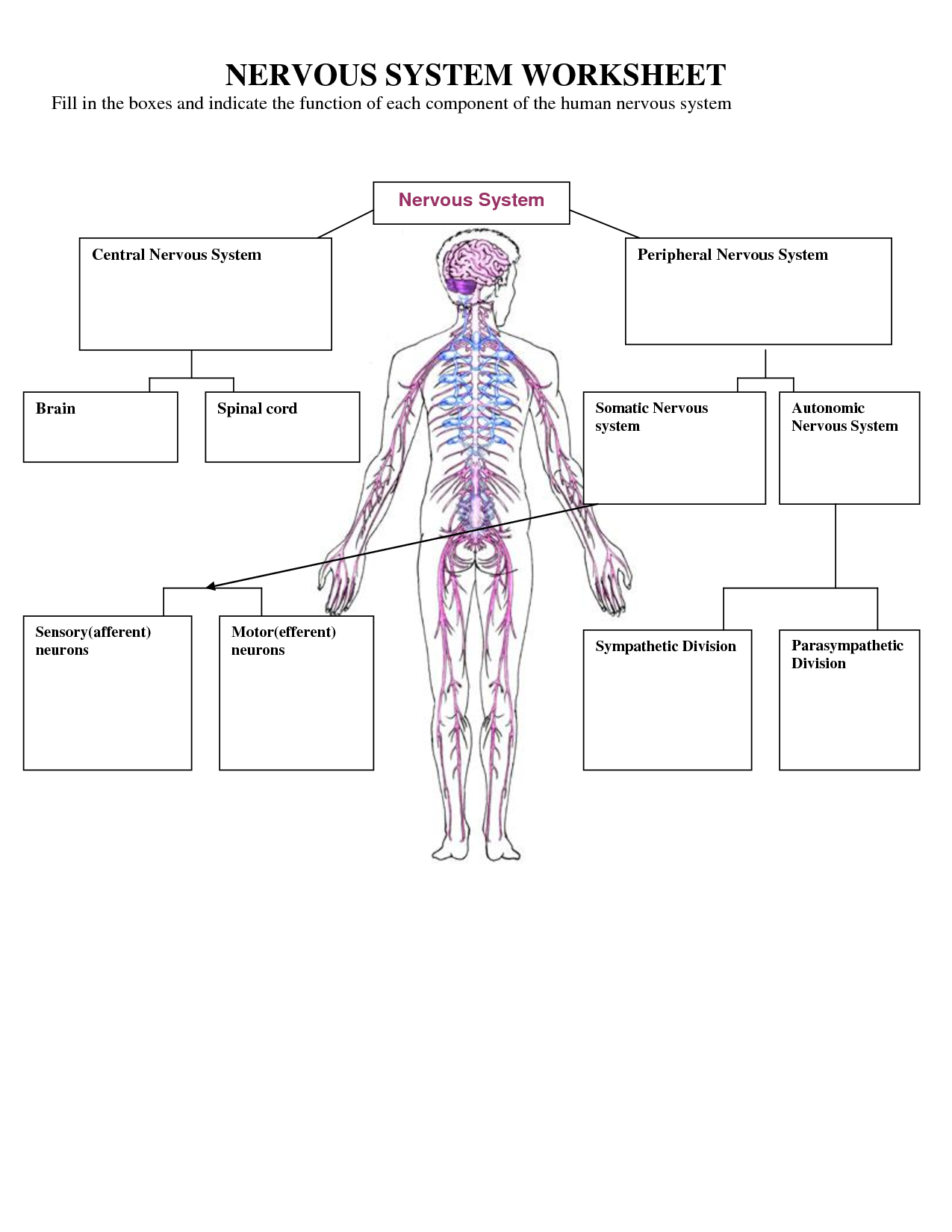blank nerve diagram ferguson t20 wiring nervous system worksheet high school best free