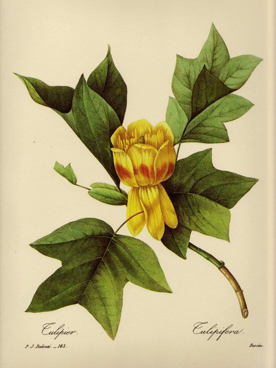 Redoute Vintage Tulip Poplar Print Poplar Tree Art Yellow Flower ...