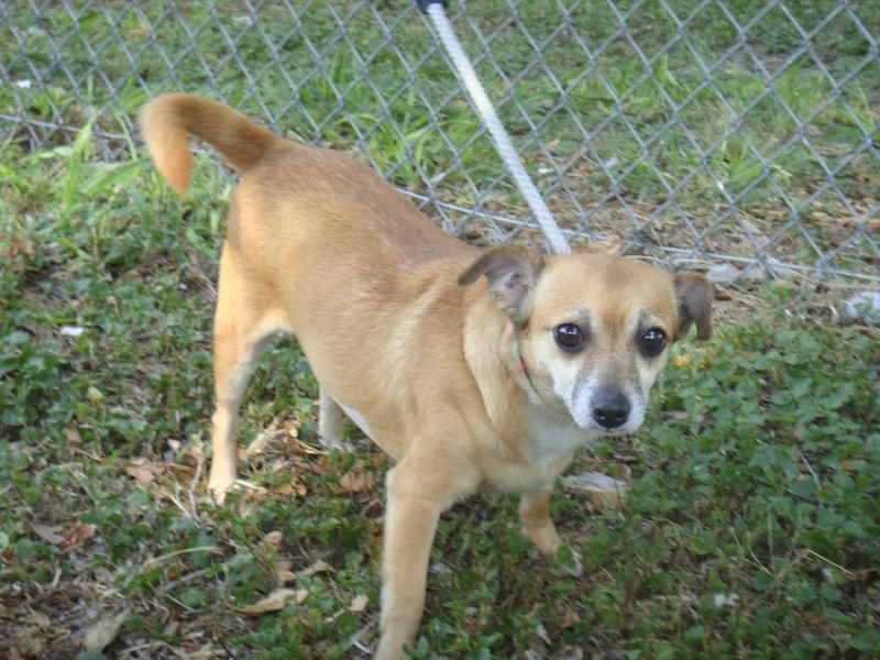 Paulina Chihuahua Mix Senior Female Small Gulf Coast Humane Society Corpus Christi Tx