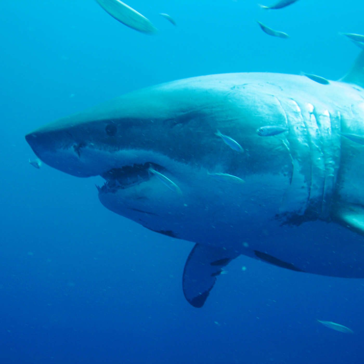 Extra Large Great White Shark Either Pregnant Or Very Full Great White Shark Deep Blue Shark Deep Blue Great White