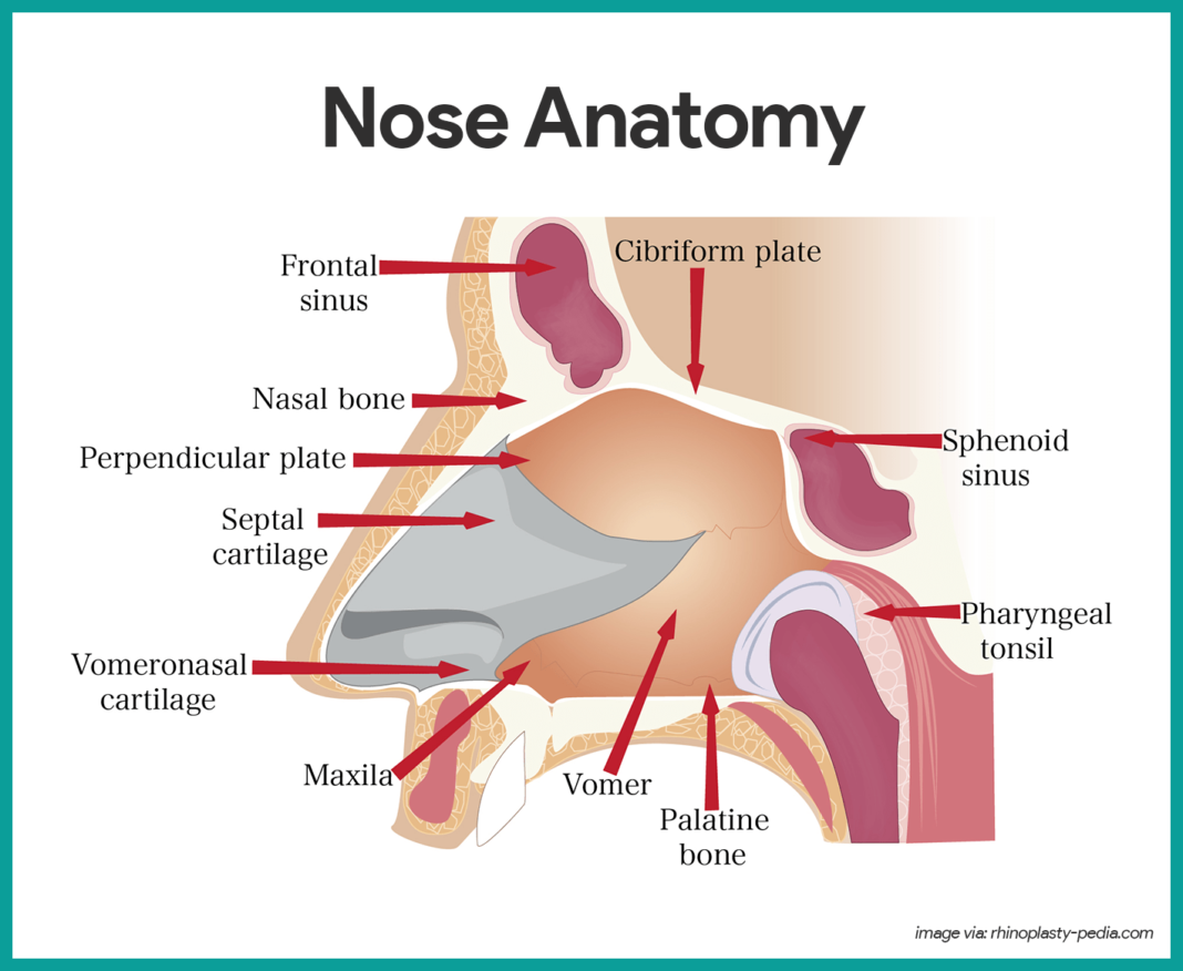 nose anatomy respiratory system anatomy and physiology [ 1068 x 876 Pixel ]