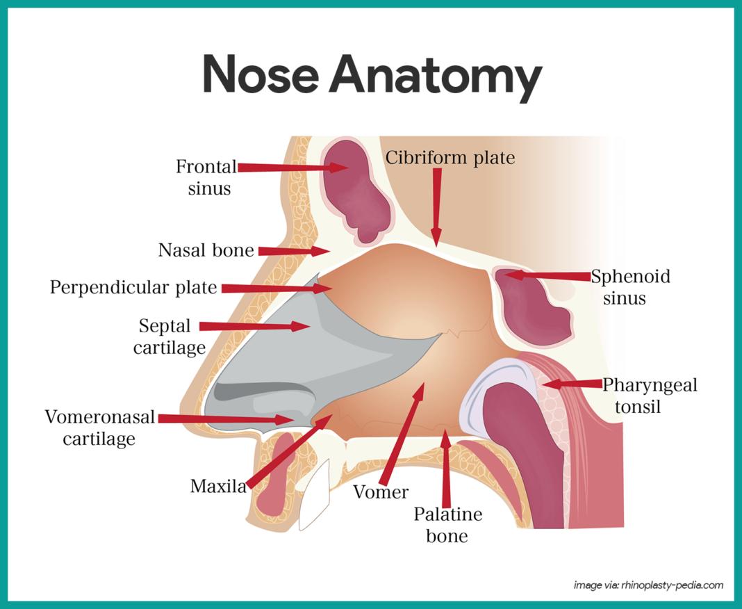 medium resolution of nose anatomy respiratory system anatomy and physiology