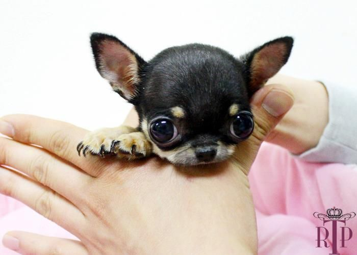 Baby Teacup Chihuahua Why Are You Chocking Him And Making His