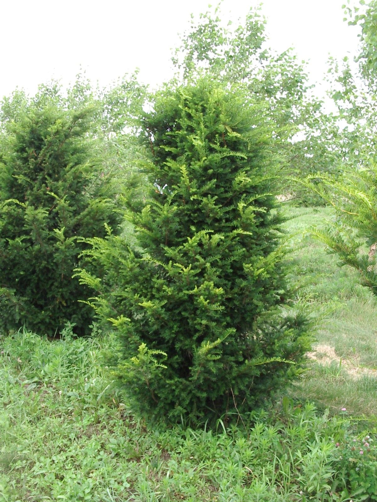 Taxus cap yew plant library pinterest cap shrub for Garden yew trees