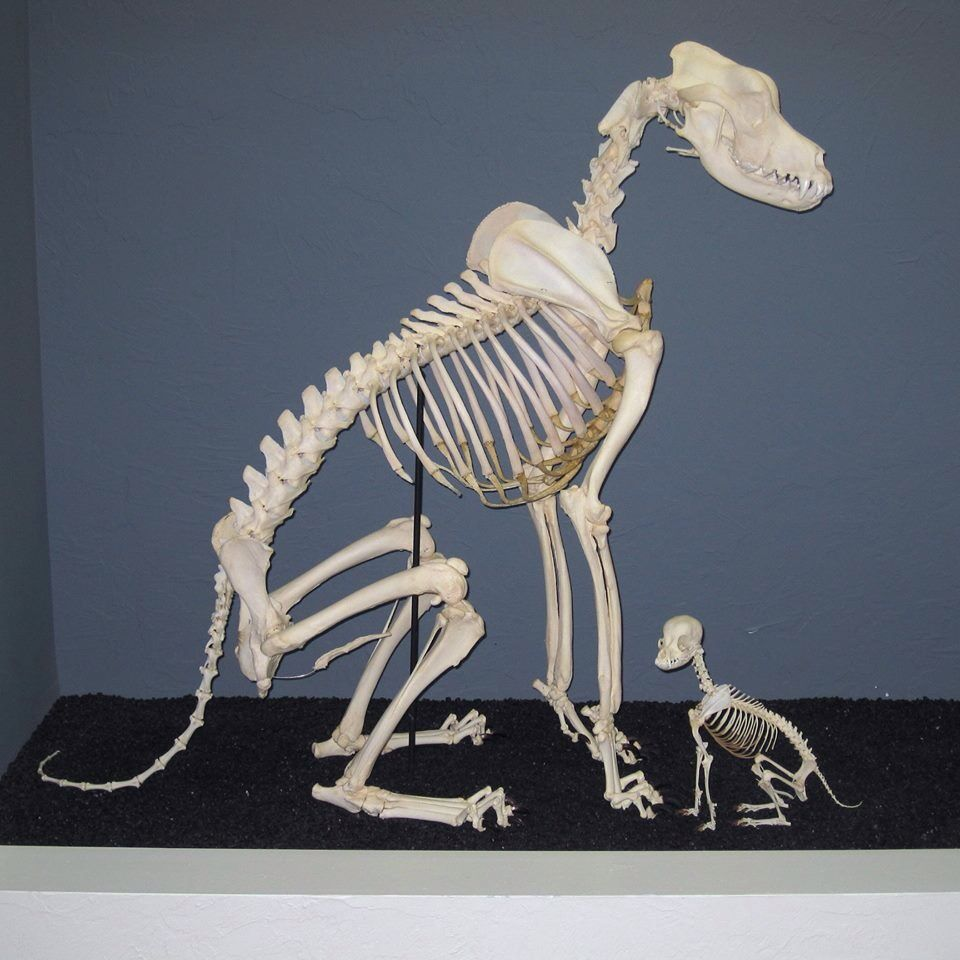 Comparison Of Great Dane And Chihuahua Skeletons Dog Anatomy Dog Skeleton Animal Skeletons