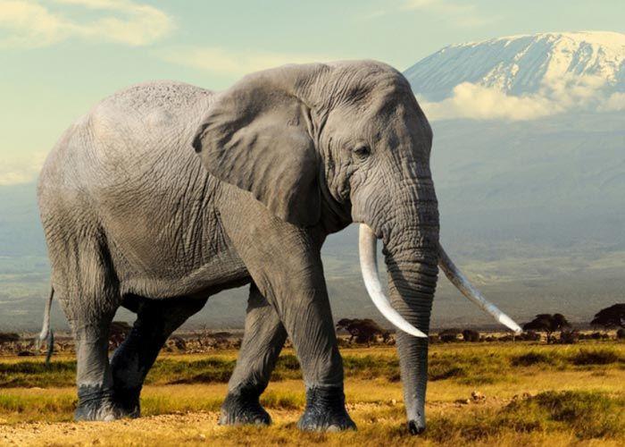 Http Www Indiacelebrating Com Essay Elephant Animal Wild Your Spirit An On