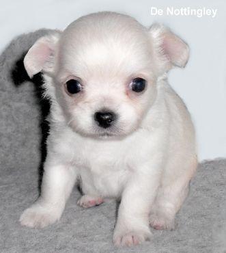 Pin By Claudine Owens On Puppies Cute Chihuahua Chihuahua Love
