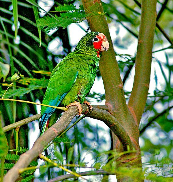 Beautiful Cayman Parrot..reminds me of Uncle Joe's parrot