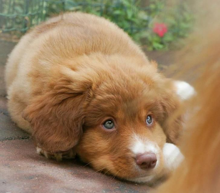 Nova Scotia Duck Tolling Retriever Beattyville Akc Registered Nova Scotia Duck Tolling Retriever Puppies For Cute Dog Pictures Dog Day Afternoon Cute Animals