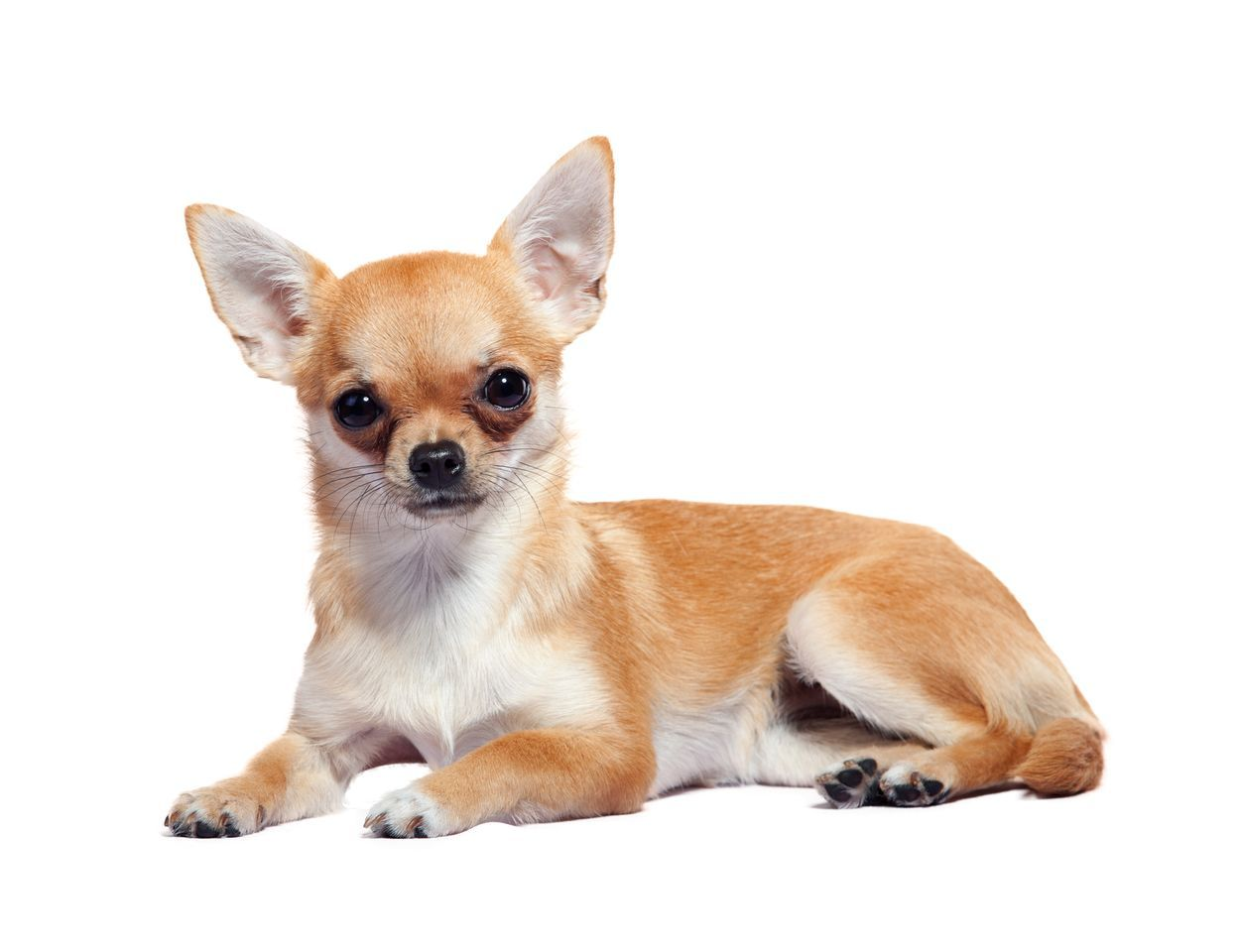 Chihuahua Lifespan Average Life Expectancy Of The Chihuahua Chis