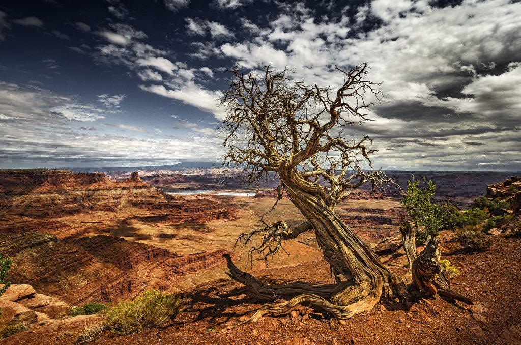 CanyonlandTree