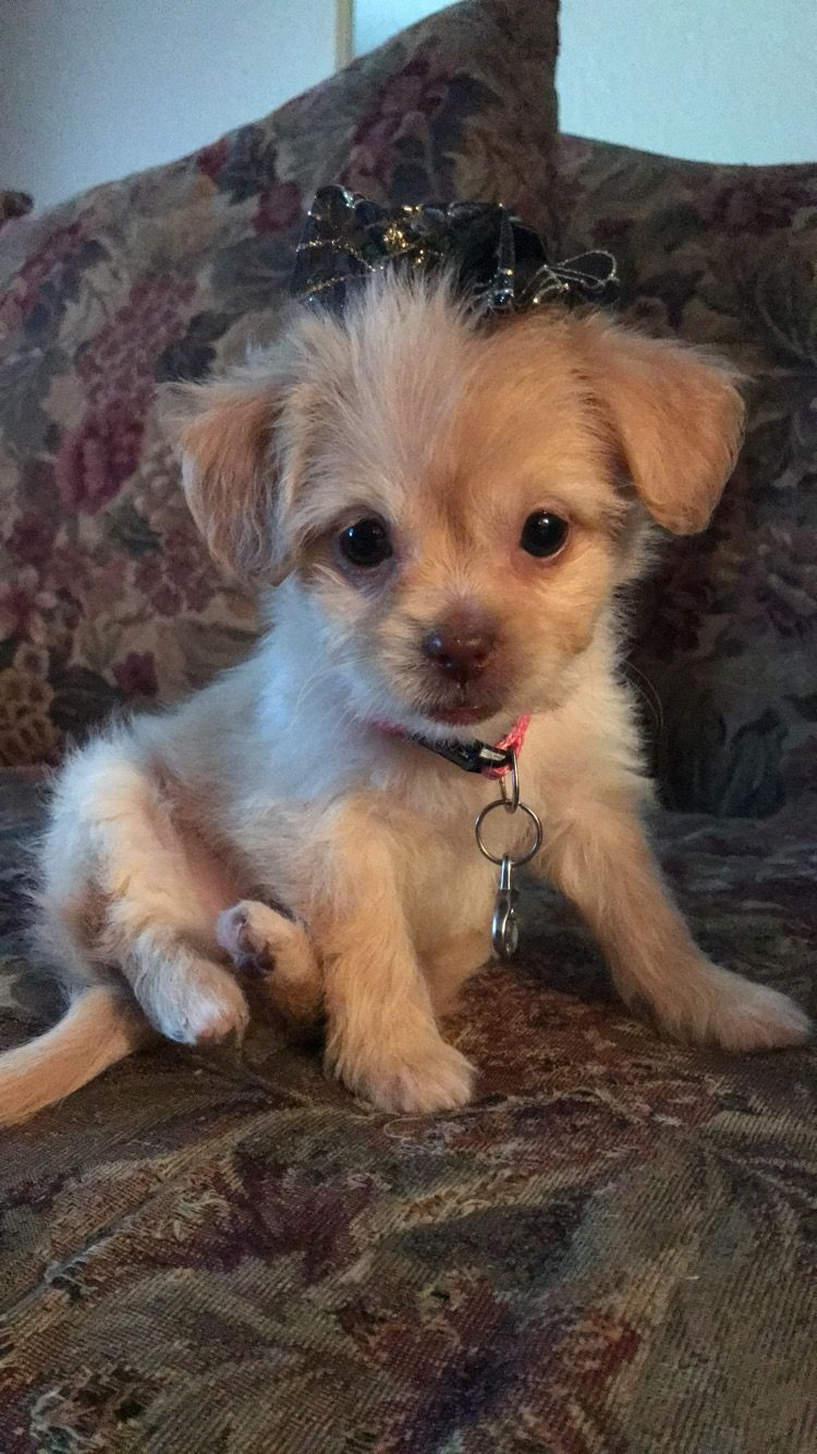 Pixie S First Time At The Groomers Shitzu Chihuahua Mix Puppy