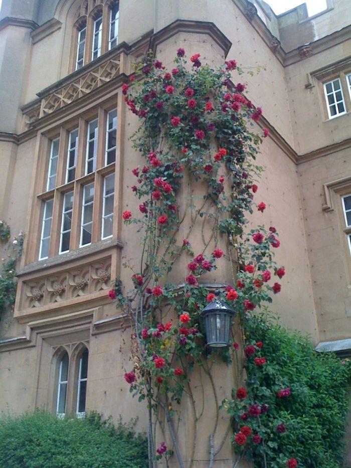 kletterrose kletterrosen pflanzen kletterrosen pflegen #Design - Pflanzen Deko Wohnzimmer