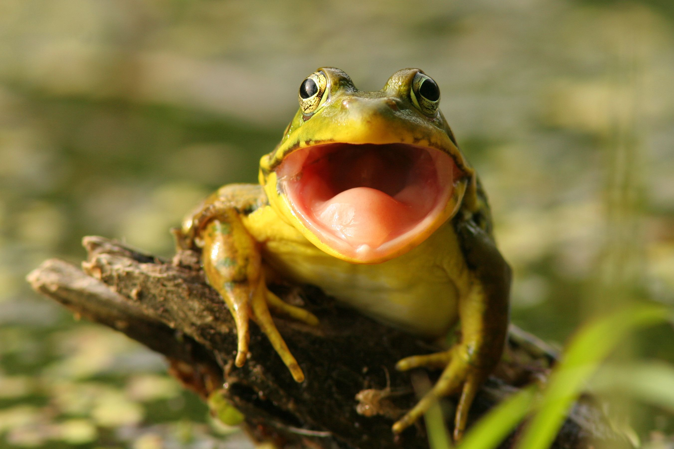 How to Get Rid of Croaking Frogs | Frog, Types of frogs ...