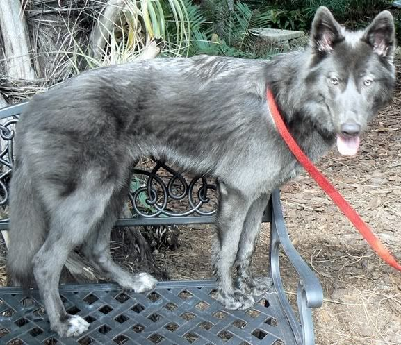 Kinder Grey Huskey Dog For Sale
