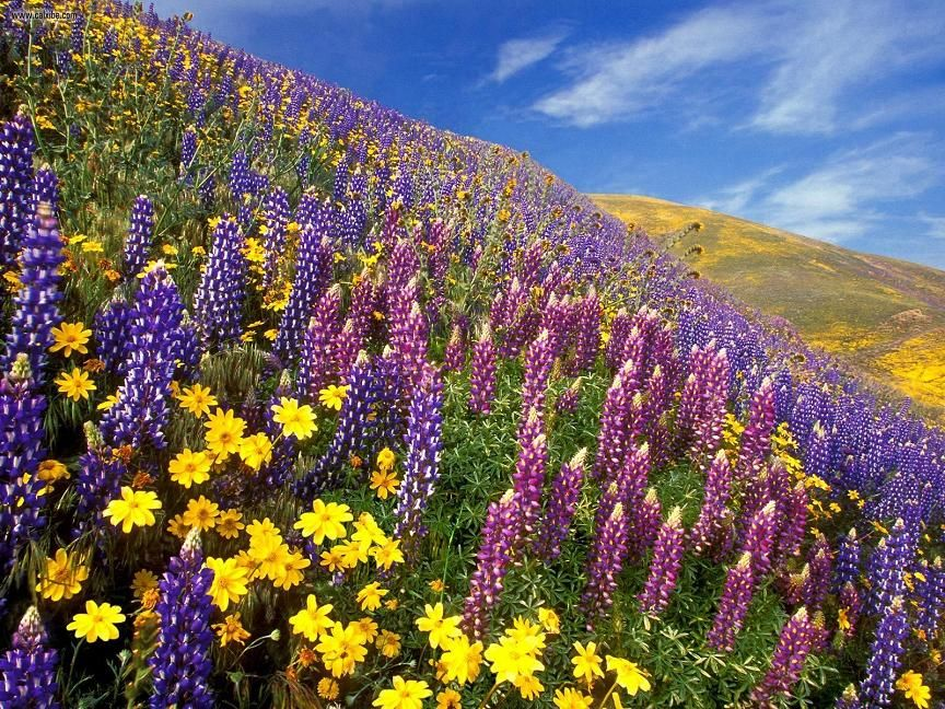 The scent of Spring, Wildflowers, Gorman, California