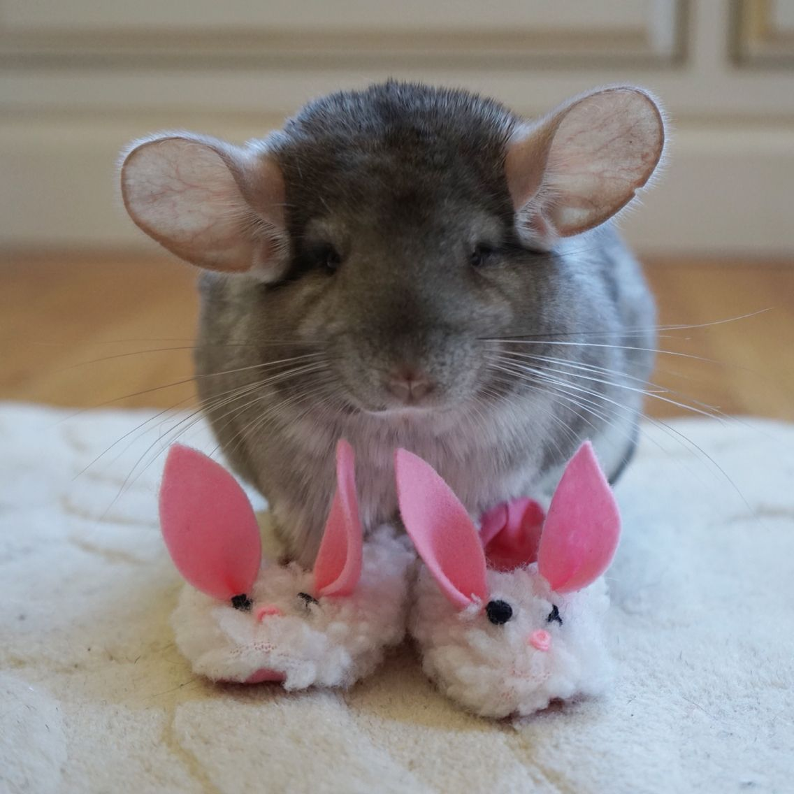 Bunnyslippers Follow Me On Instagram Cosettethechinchilla Chinchilla Pet Funny Animals Cute Animals