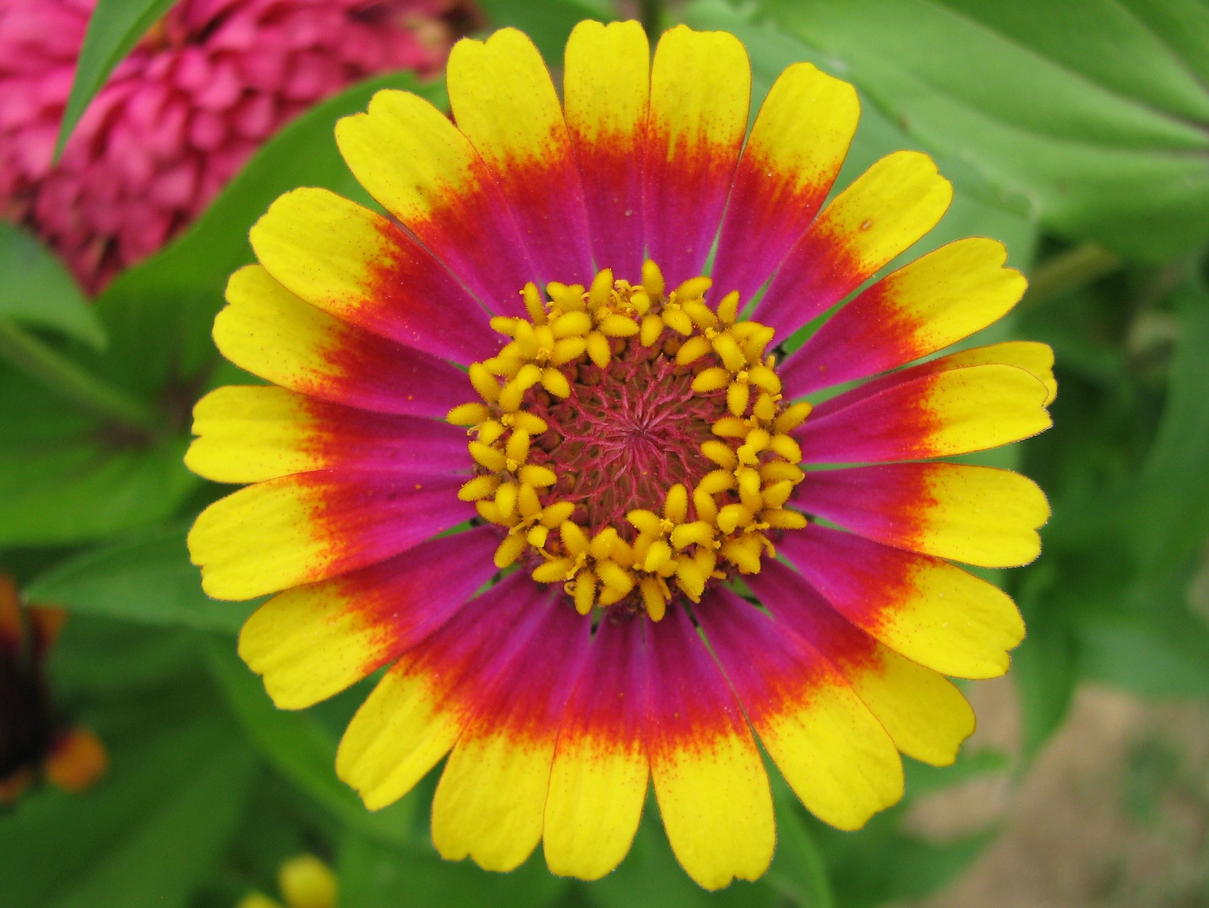 Beautiful elements of design-pattern in Zinnia flower | Color-Range ...
