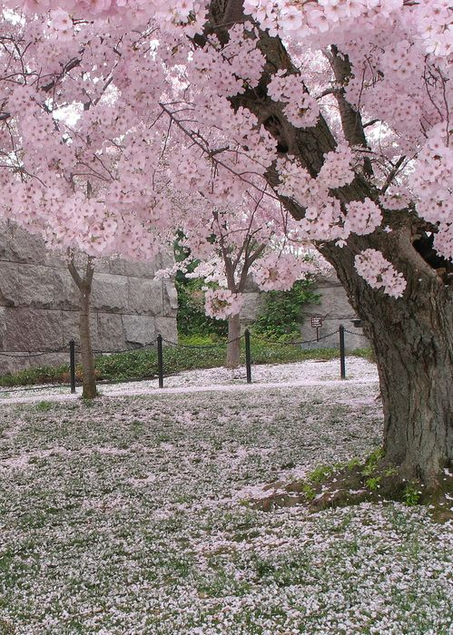 Pink Snow Flowering Trees Blossom Trees Beautiful Nature