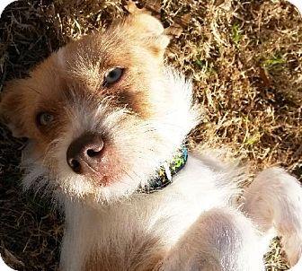 Dallas, TX Terrier (Unknown Type, Medium) Mix. Meet