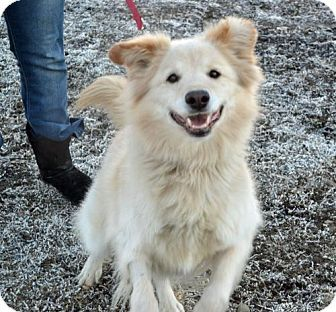 2 3 16 Akron Oh Samoyed Mix Meet Buddy A Dog For Adoption