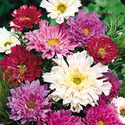Double Click Mix Cosmos Flower Seeds By Gurney S Seed Nursery Company Be The First To Review This Item Price 2 50 4 95 Est Shipping