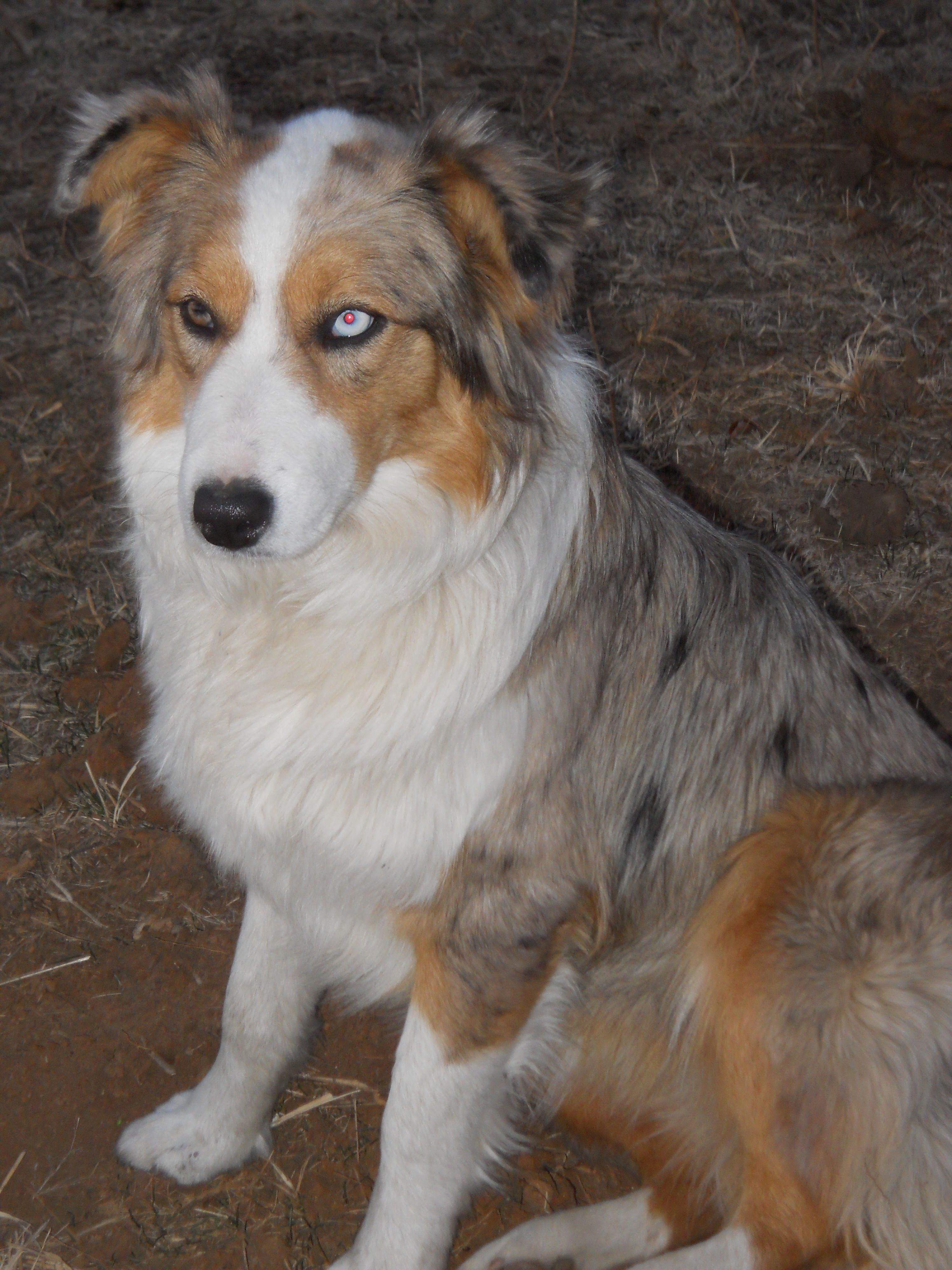 Temple Our Youngest Member Australian Shepherd Puppies