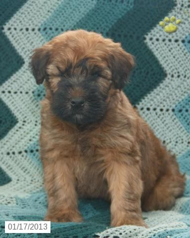 Want Him Newton Soft Coated Wheaten Terrier Puppy For Sale