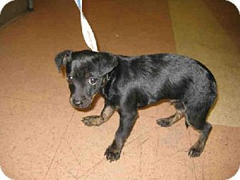 San Jose Ca Chihuahua Mix Meet A878208 A Puppy For Adoption