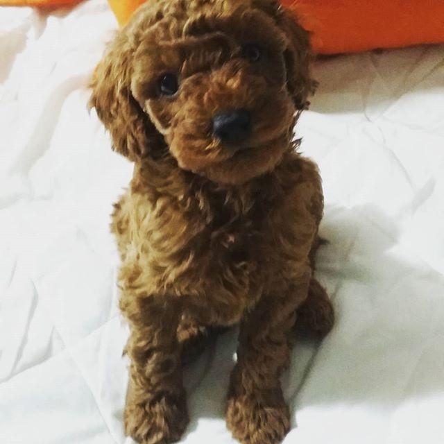 Encantador Preciosa Mascota. Ya sabéis a todos seguidme y etiquetarme en la fotografía que queráis y todo los días el que mas me gusta tenga será elegido LA MASCOTA DEL DIA. Precious pet. You know to follow me and label me all the photography that wish and every day that I like has to be elected MASCOT DAY.  @annalihai my new room mate Nur!i so cute puppy! #puppy#puppylove#poodle by labradorsoficial