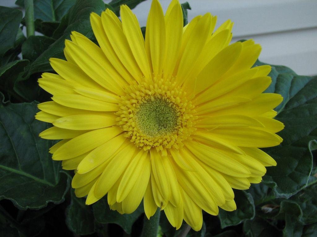 Yellow Gerbera Daisy Daisy Flower Tattoos Gerbera Daisy Yellow Daisy Flower