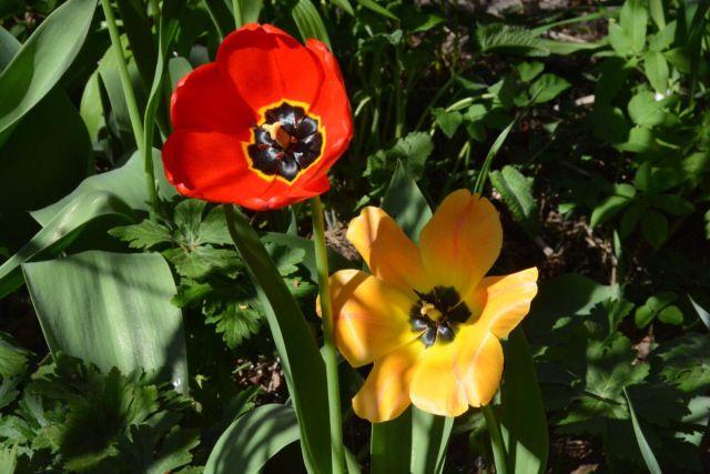 Tulppaanit aurinkoisina