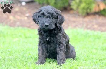 Charcoal Whoodle Miniature Puppy For Sale In Pennsylvania