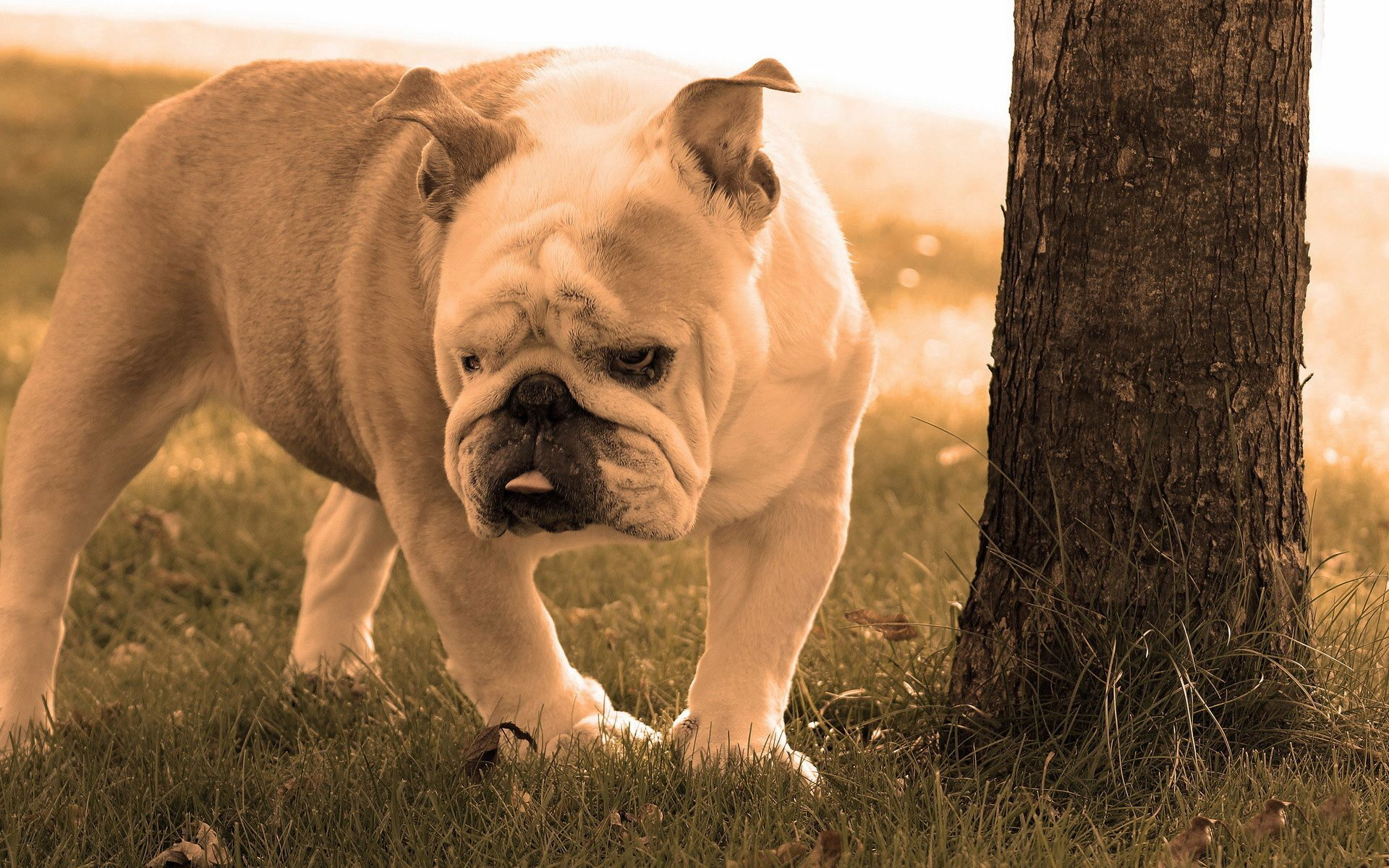 Bulldog Hd Wallpaper Free Hd Wallpapers Bulldog Dog Images Pet Birds