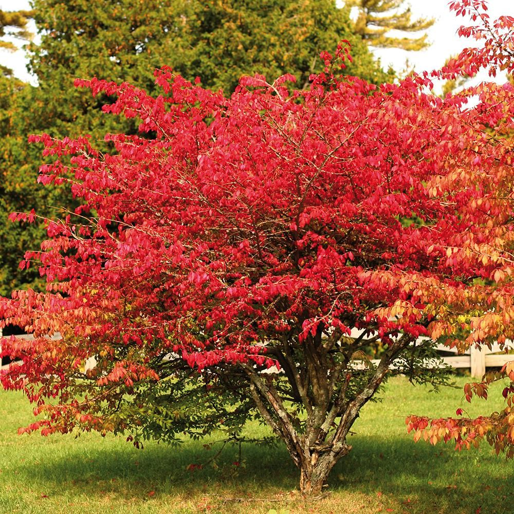 Burning bush red root stock set of root burning bush and products