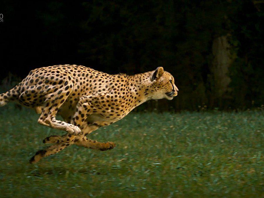Cheetah Running At Full Speed Susan Koppel 500px Big Cats