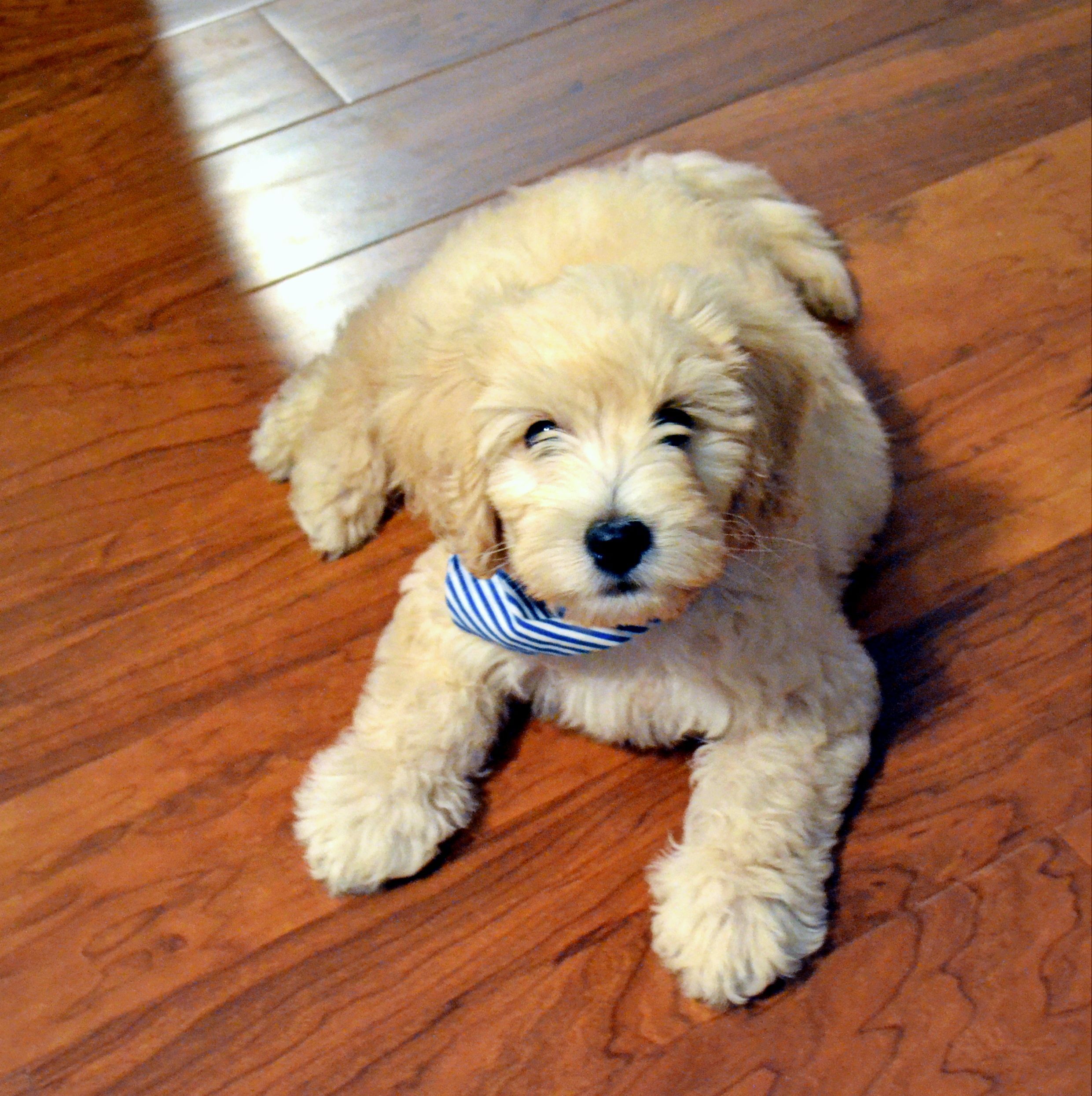 Samson 11 Weeks Mini Goldendoodle Cute Dog Mixes Mini