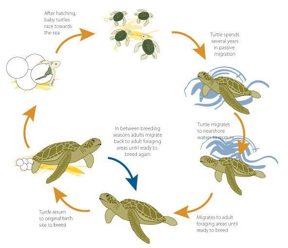 Amphibian Life Cycle Diagram Diagrams Science Pinterest