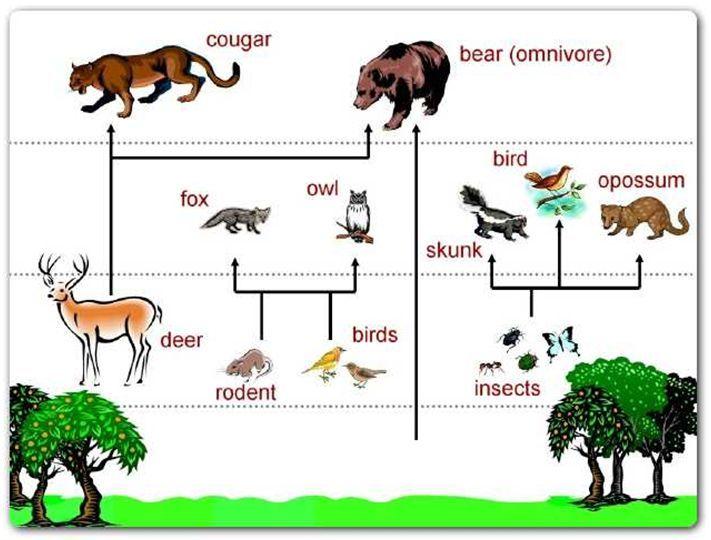 Rainforest Food Chains For Kids Rainforest Food Chain Diagram Cc