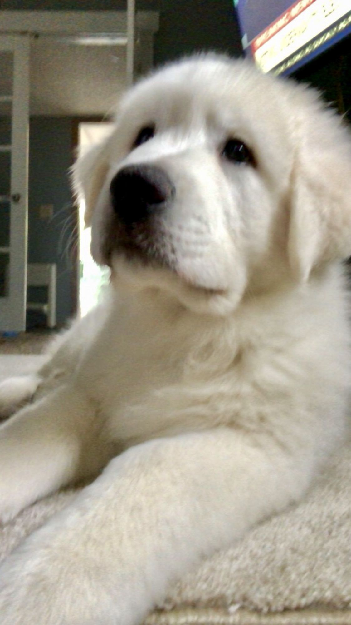 This Is Rollo He S A 10 Week Old Great Pyrenees Great