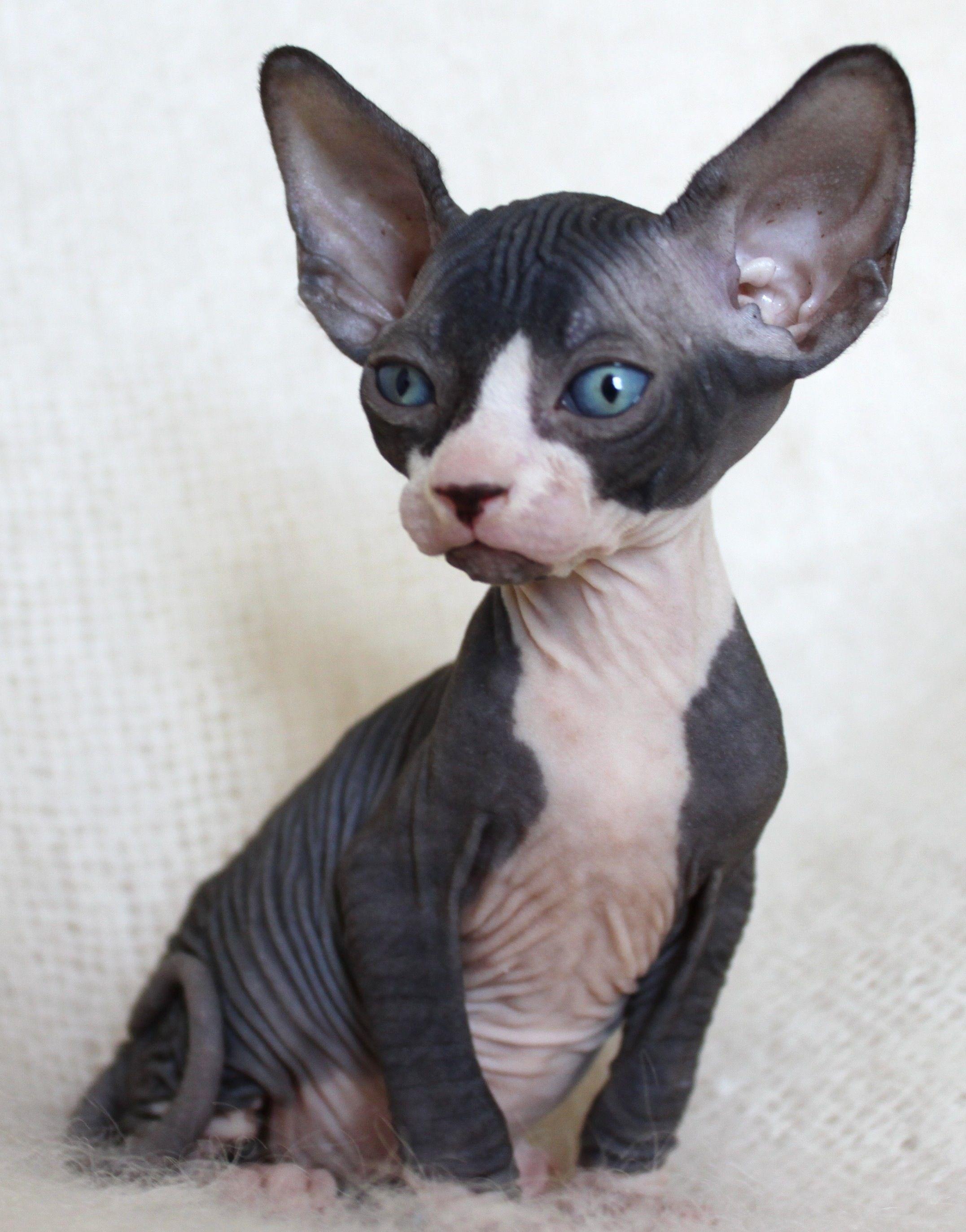 Munchkin Sphynx Cat : munchkin, sphynx, Sphinx--my, Dream, Black, Hairless, Facts