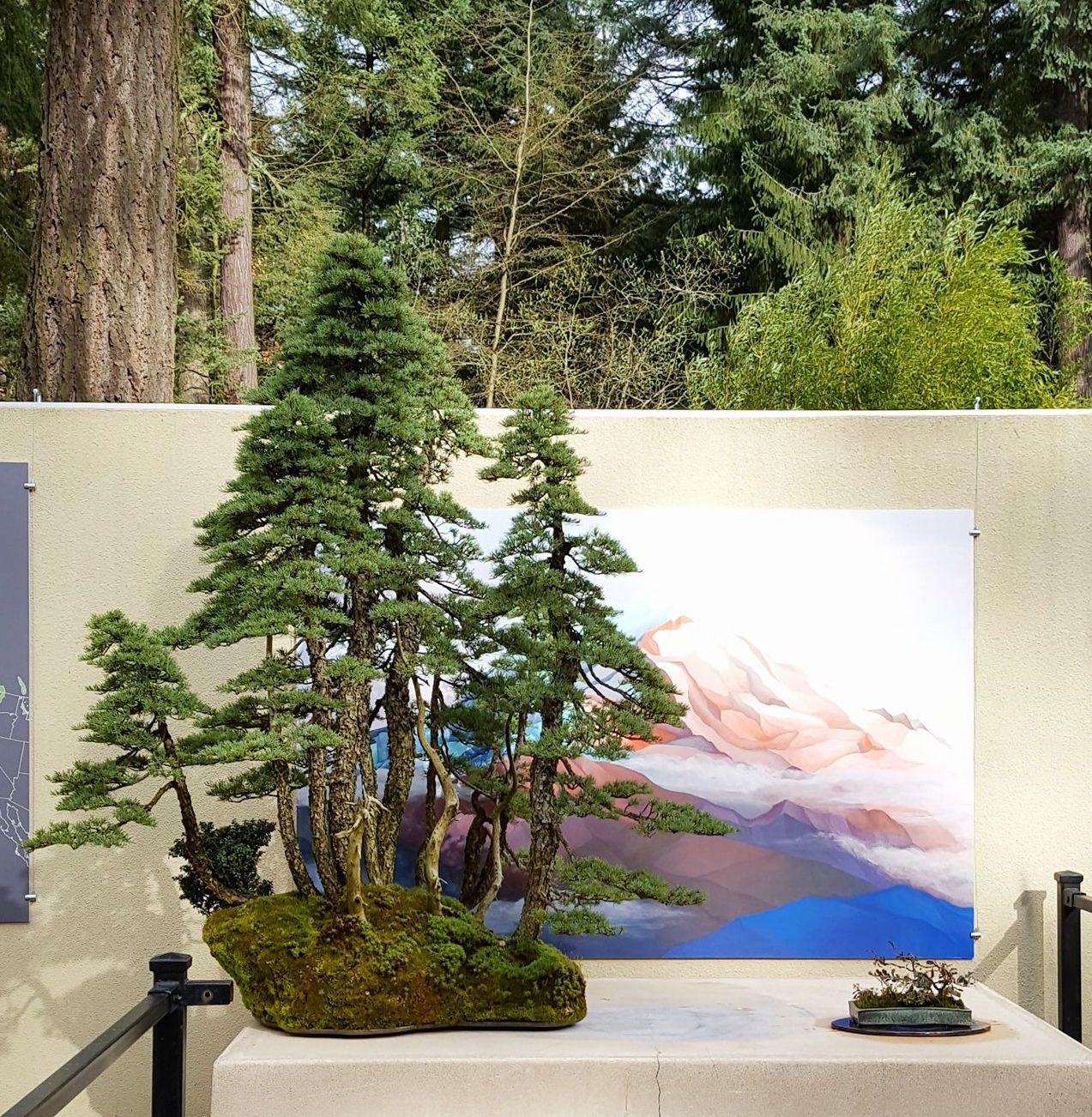 Mountain Hemlock By Michael Hagedorn Displayed At The Pacific Bonsai Museum S New Exhibit Natives Bonsai Indoor Bonsai Tree Bonsai Forest Zelkova Bonsai