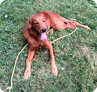 10/16/15 Media, PA - Irish Setter/Golden Retriever Mix. Meet AUTUMN, a dog for adoption. http://www.adoptapet.com/pet/14069878-media-pennsylvania-irish-setter-mix