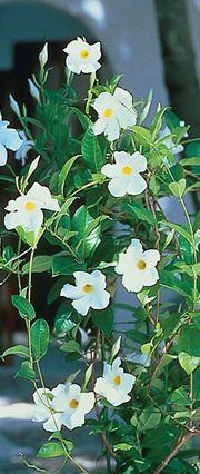 Sun Parasol Giant White Mandevilla Great Climbing Variety For