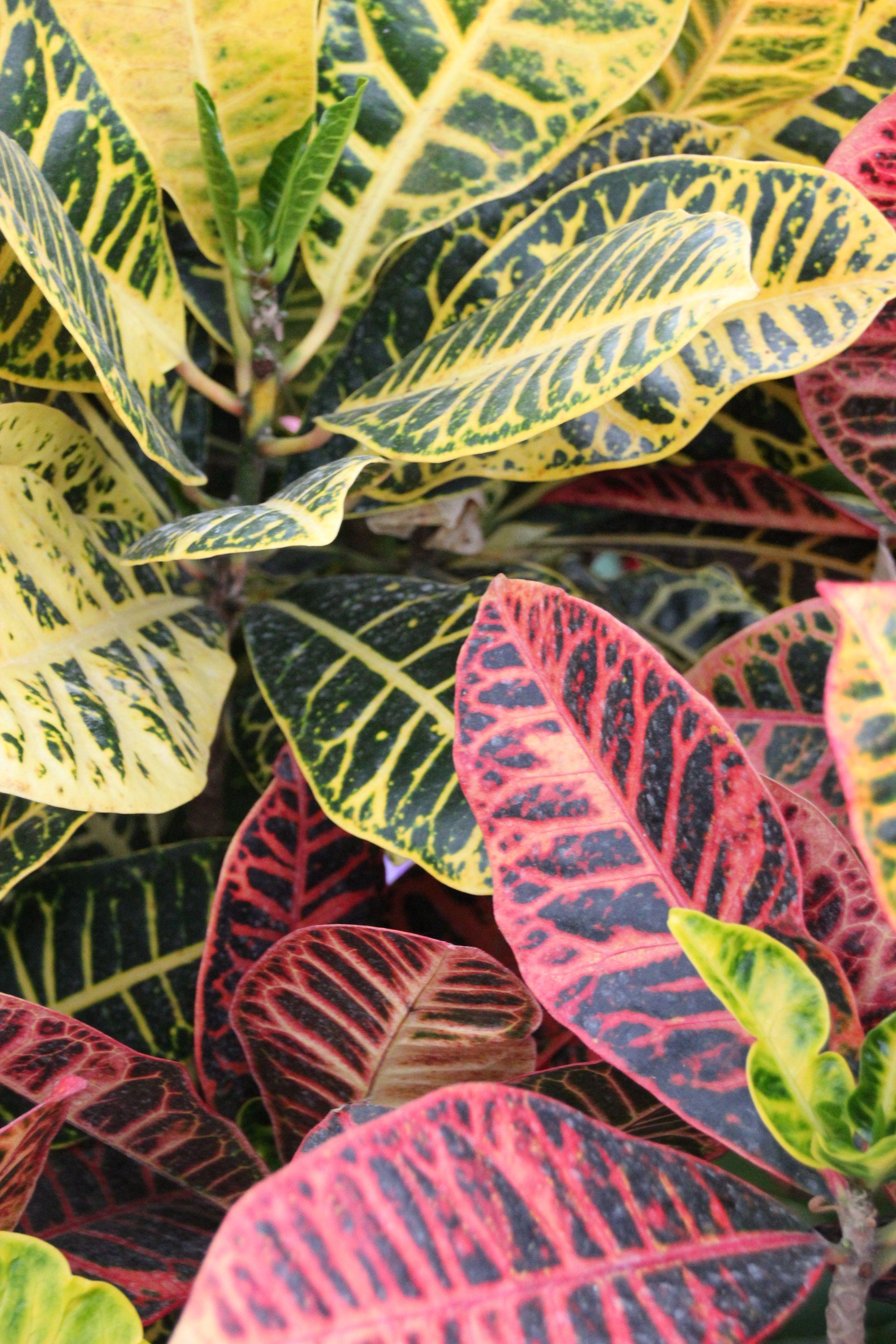 Croton Standards Plants
