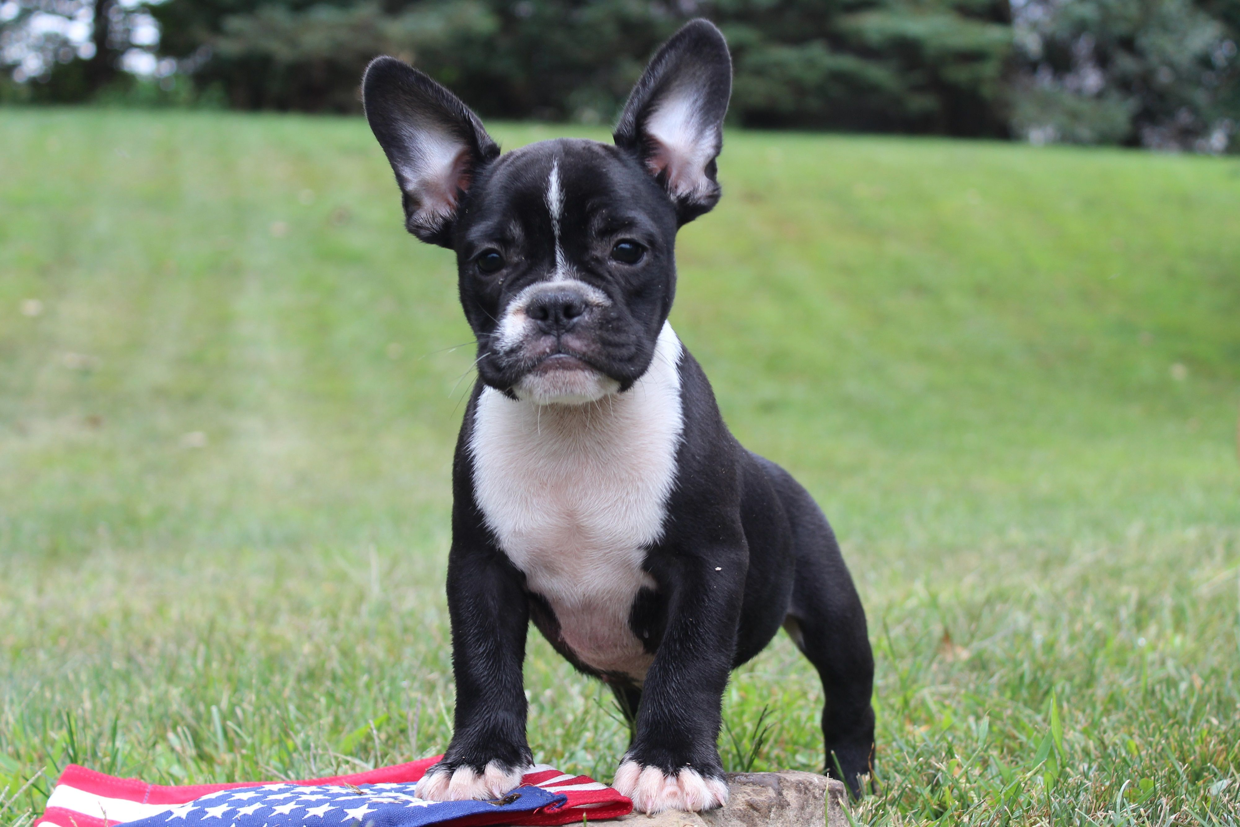 Frenchieoftheday The Frenchbulldog More Lovingly Referred To As Frenchie By Its Owners Is One O French Bulldog Puppies French Bulldog Bulldog Puppies