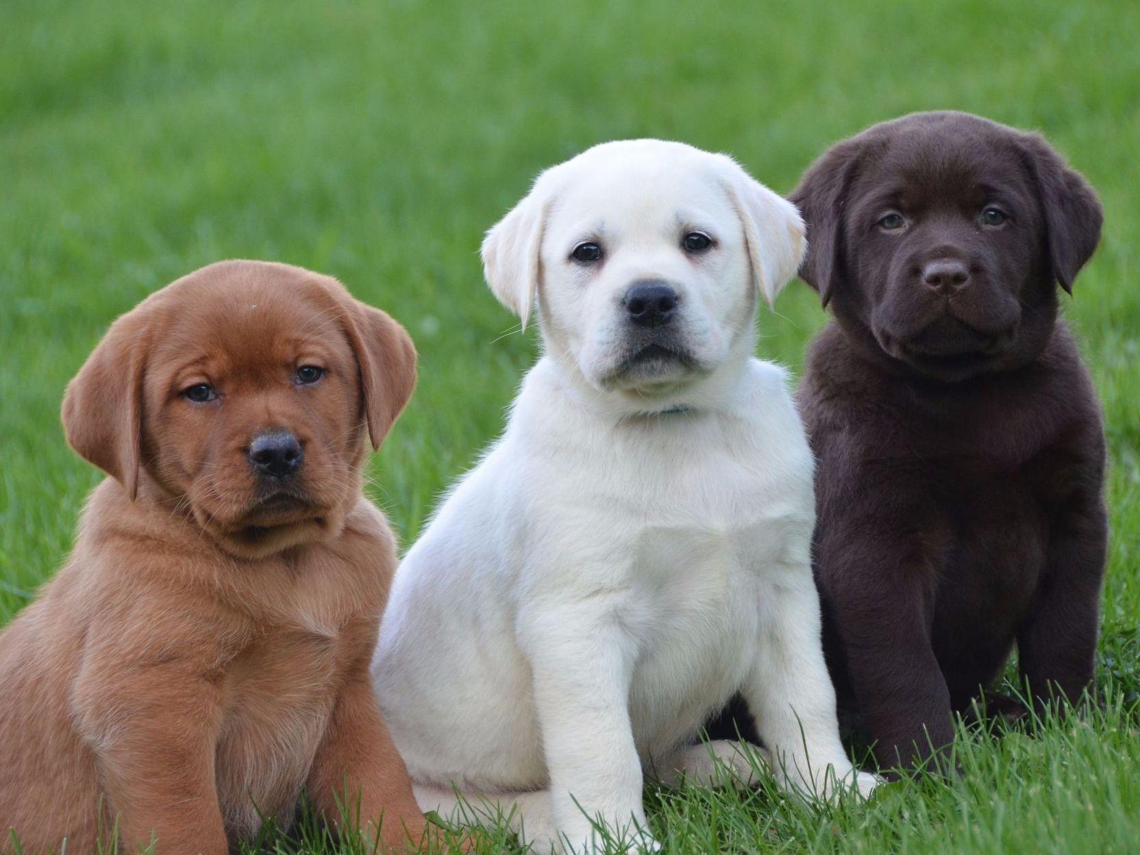 English labrador retriever breeders michigan